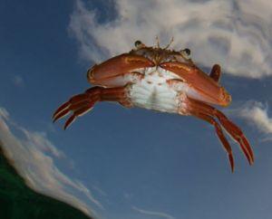 alseye-flying crab